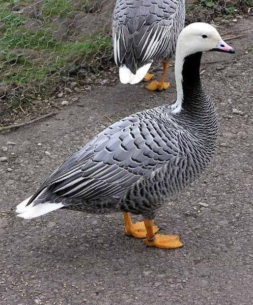 БЕЛОШЕЙ (Anser canagicus, Philacte canagica) - вид птиц