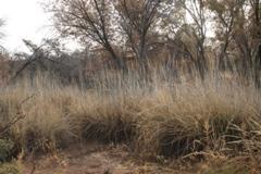 Growing Native with Petey Mesquitey: Giant Sacaton