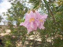 Growing Native with Petey Mesquitey: Chilopsis linearis 'monsoon'
